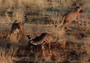 Cheetahs Fighting