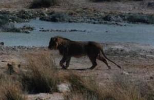 Lion Attack II