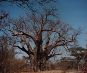 Special Tree near Victoria Falls