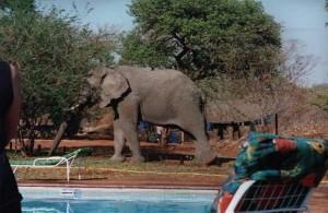 Victoria Falls Camp Elephant
